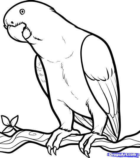 drawing free how to draw an grey grey parrot step by