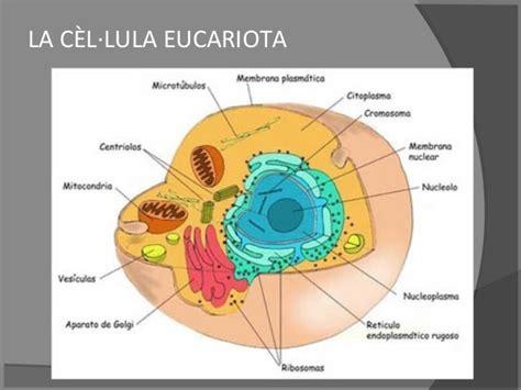 estructura de la clula eucariota celula eucariotas imagui