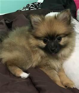 2 month pomeranian puppy pomeranian puppy care petpom