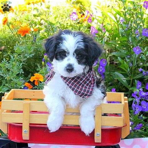 havanese puppies pa max havanese puppy for sale in pennsylvania