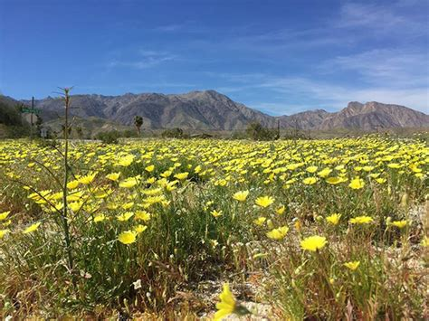 desert flowers anza borrego anza borrego desert wildflowers update