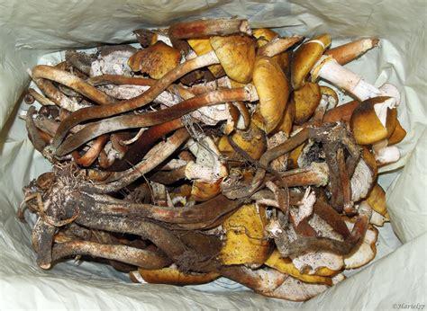 cucinare chiodini risotto con funghi chiodini cucinare 232 un modo di