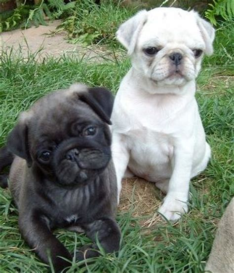 black and white pug silver white pug puppies pugs kisses