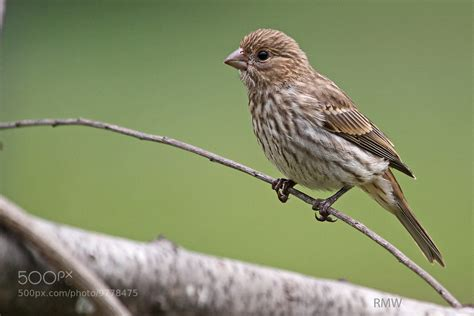 female house finch photograph female house finch by rusty wood on 500px