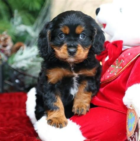cavapoo puppies for sale in pa best 25 cavapoo puppies for sale ideas on cockapoo pups for sale