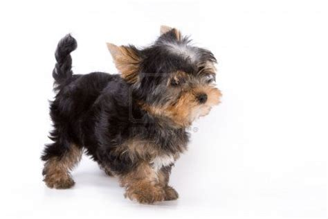 yorkie definition yorkie puppy wallpaper wallpapersafari