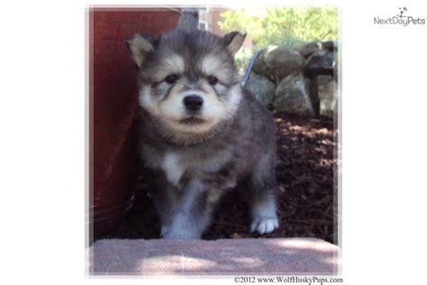 timber wolf hybrid puppies for sale wolf hybrid puppy for sale near salt lake city utah 3b4f982e b541