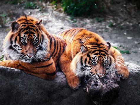 imagenes wallpapers hd animales tigres salvajes hd fondo de pantalla im 225 genes fondos de