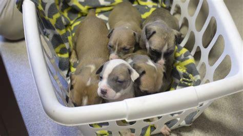 2 week pitbull puppies 2 week pit bull puppies
