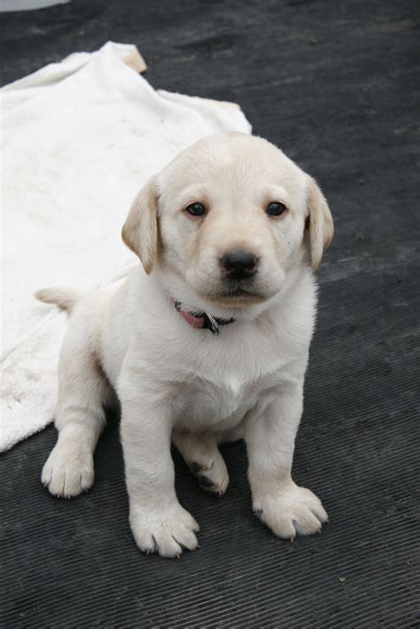 baby lab puppies labrador retriever a baby of labrador retriever delta16v flickr