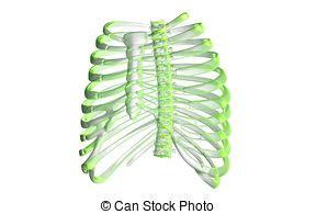gabbia toracica ossa sterno gabbia anatomia ossa costola