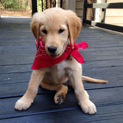 golden retriever puppy bandana golden retriever puppy moose puppies in bandanas make my melt golden