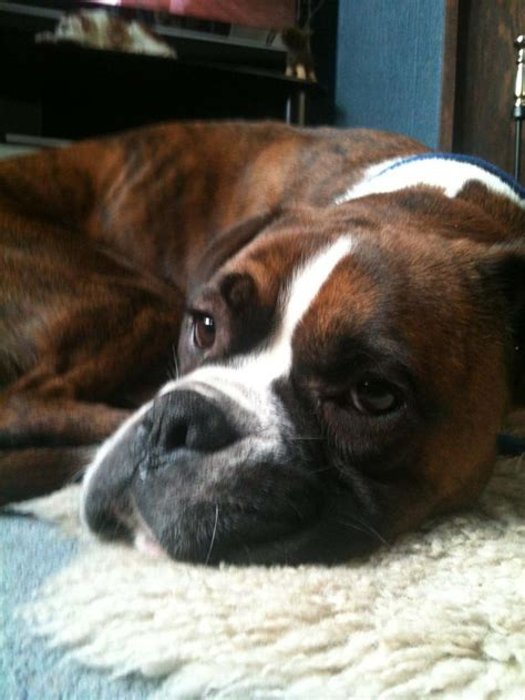 boxer puppy rescue 17 images about boxers and other dogs on puppys bullies and brindle