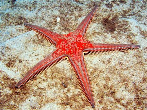 astropecten aranciacus red comb starfish atlantis gozo