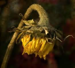flower dying www mindsandvines