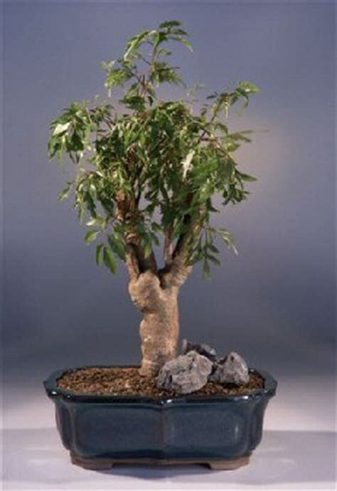 ming aralia bonsai treepolyscais fruticosa