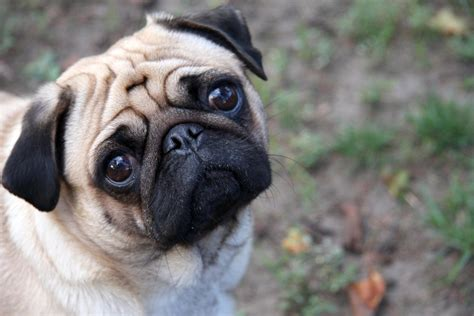 pugs at file sad pug jpg