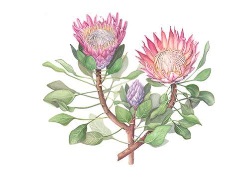 protea cynaroides on behance