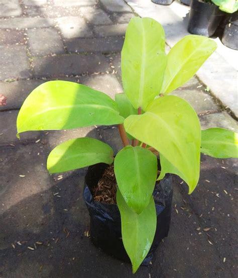 Tanaman Philodendron Xanadu tanaman philodendron golden emerald bibitbunga