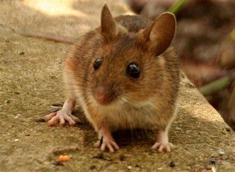 come allontanare i topi dal giardino topi in giardino rimedi biologici per allontanarli