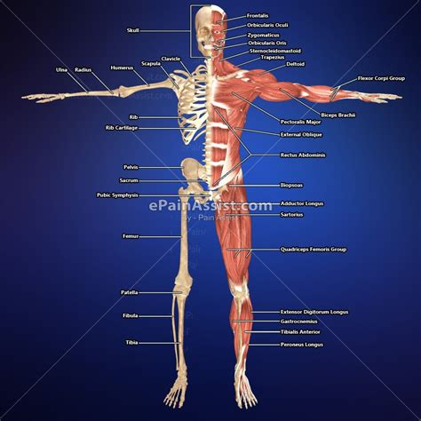 musculoskeletal system diagram buy right skeletal system left muscular with labels