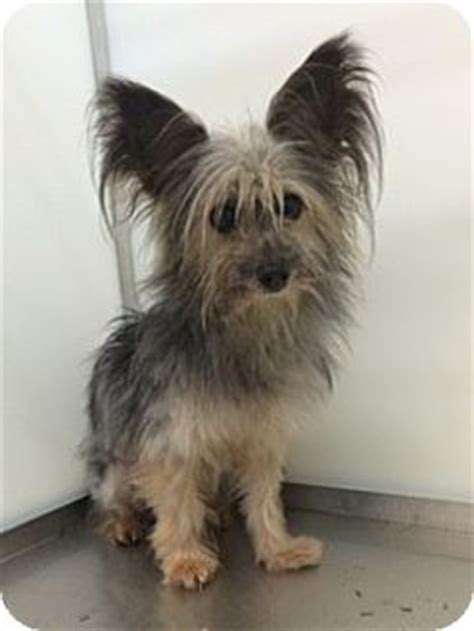 yorkie rescue fort worth chorkie adopted fort worth tx yorkie terrier papillon mix