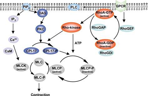 a rho rhoa rho kinase in erectile tissue mechanisms of disease