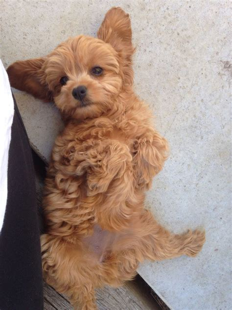retriever doodle puppies for sale nz best 226 i want a cavoodle images on animals