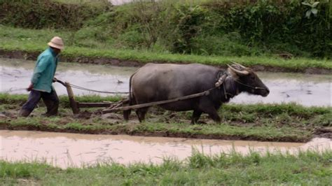 coltivazione a terrazza coltivazione riso risaia a terrazza bali