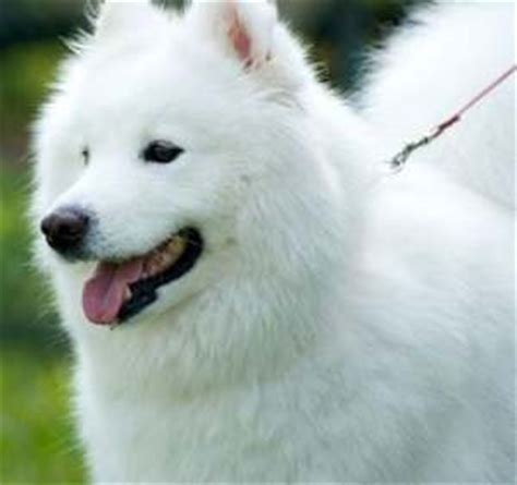 alaskan eskimo puppy alaskan breeds
