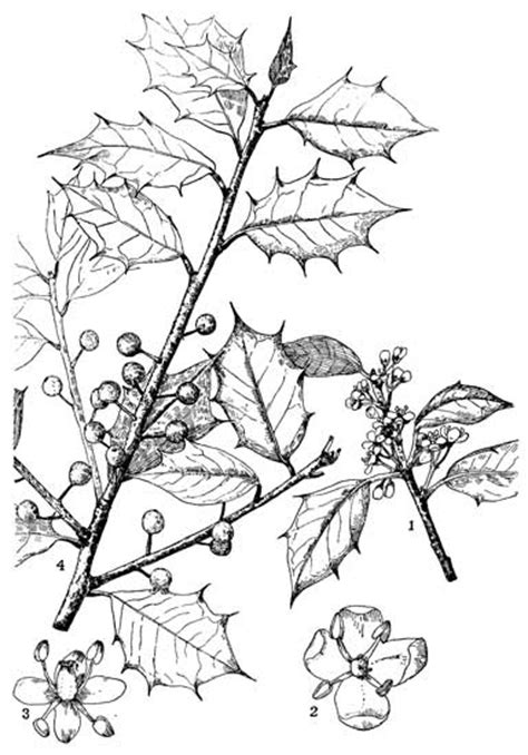 holly tree coloring page coloring picture of holly leaf coloring pages
