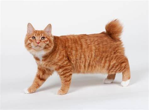 American Bobtail Cat Info, Personality, Kittens, Pictures