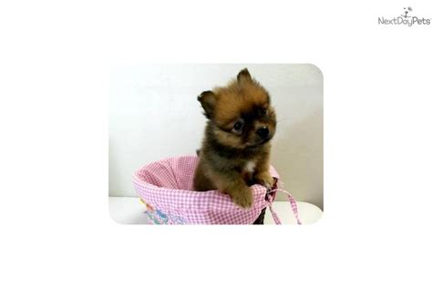 fluffy teacup puppies meet san diego pom pom a pomeranian puppy for sale for 599 teacup pom puppies