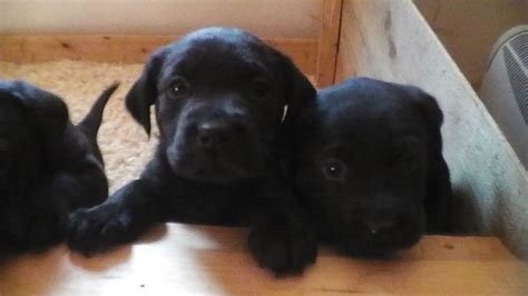 lab rottweiler puppies adorable labrador x rottweiler puppies ashford kent pets4homes