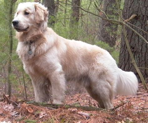golden retriever color variations top 10 most popular breeds for 2012