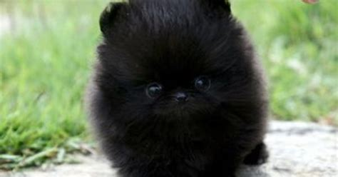 black teacup pomeranian puppies 3737192226832487c9f7aea89b5dfa9c jpg 400 215 242 animals teacup