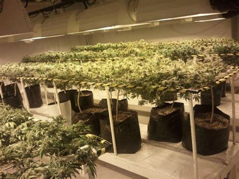 weed scene grow medical marijuana plants  weed