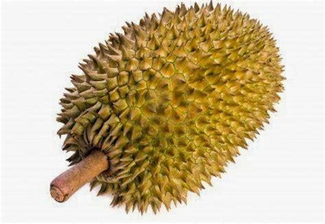 gambar durian seri buah buahan makanan orangutan sedangkan