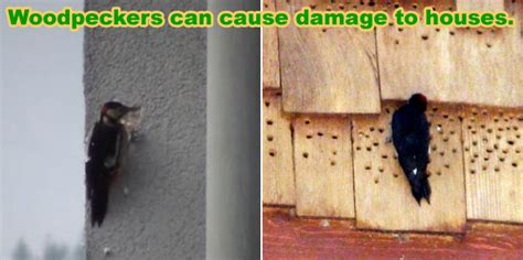 how to keep woodpeckers away and off your house