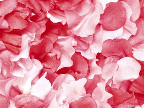 wallpaper flower petal rose flower tumblr wallpaper 2560x1600 23523