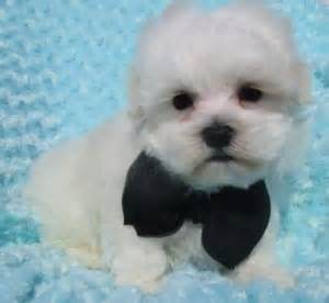 buttercup puppies welcome to buttercup puppies holistically raised