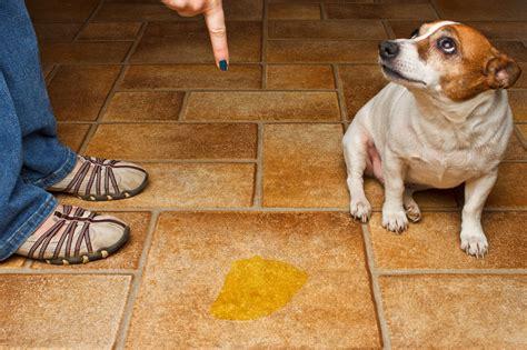 elderly dog peeing in house como ensinar o cachorro filhote a fazer xixi e coco no