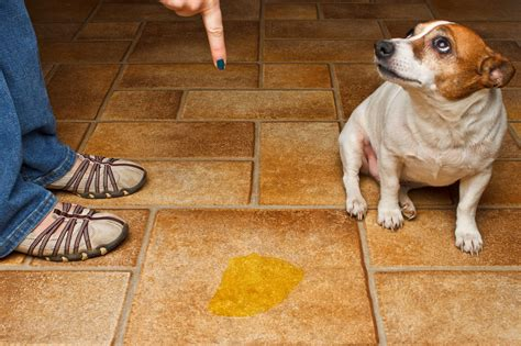 old dog urinates in house como ensinar o cachorro filhote a fazer xixi e coco no