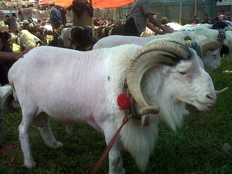 Bibit Domba 8 cara ternak domba yang benar dan berhasil kata co id