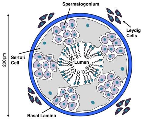 seminiferous tubules diagram image gallery sertoli cells