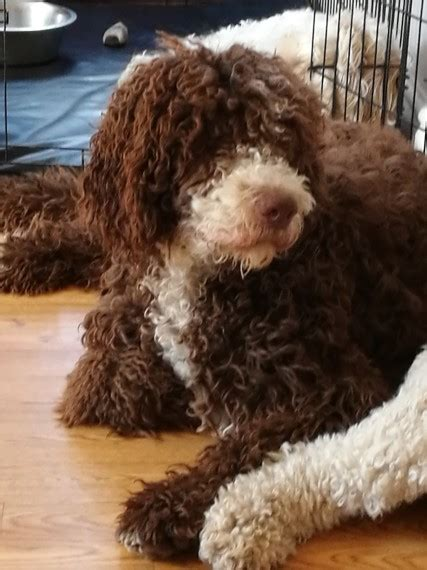 doodle puppies new york labradoodle puppies for sale new york state thruway