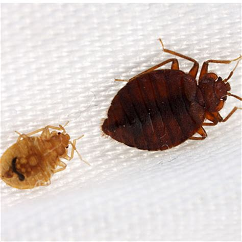 bean leaves bed bugs study says kidney bean leaves work against bed bugs my
