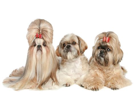 best food shih tzu best food for a shih tzu 1001doggy