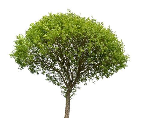 green tree isolated on white background stock photo