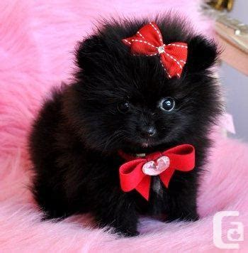 small black pomeranian tiny teacup black pomeranian princess for sale in cbellton new brunswick
